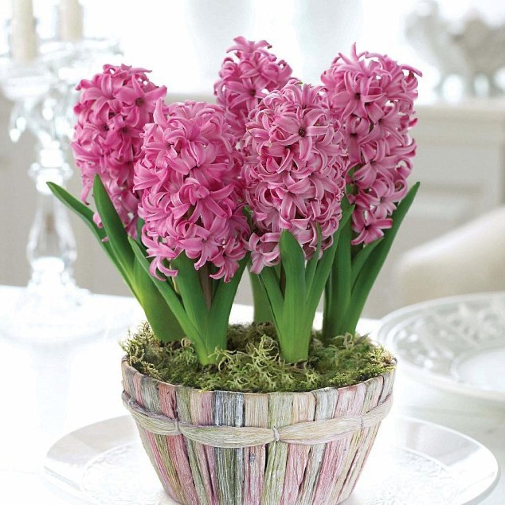 Цветы гиацинт