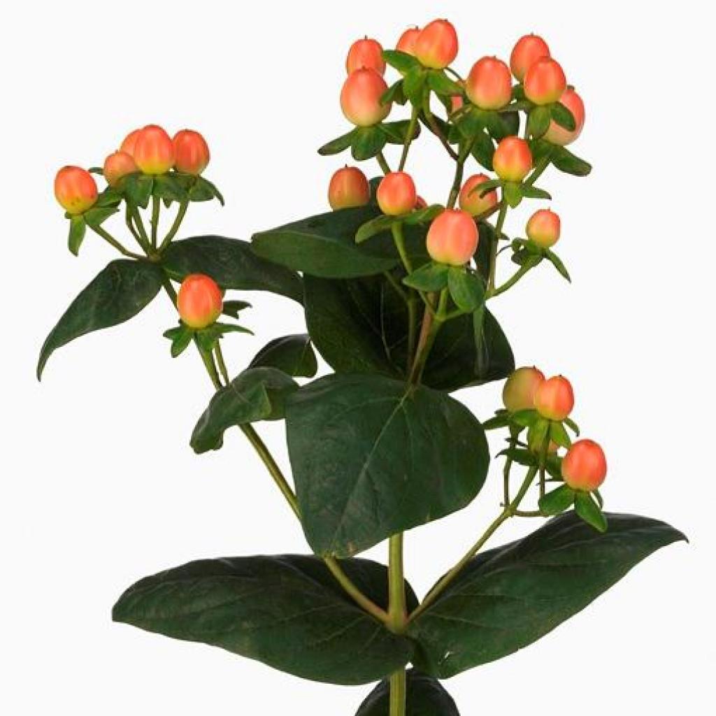 Цветы гиперикум