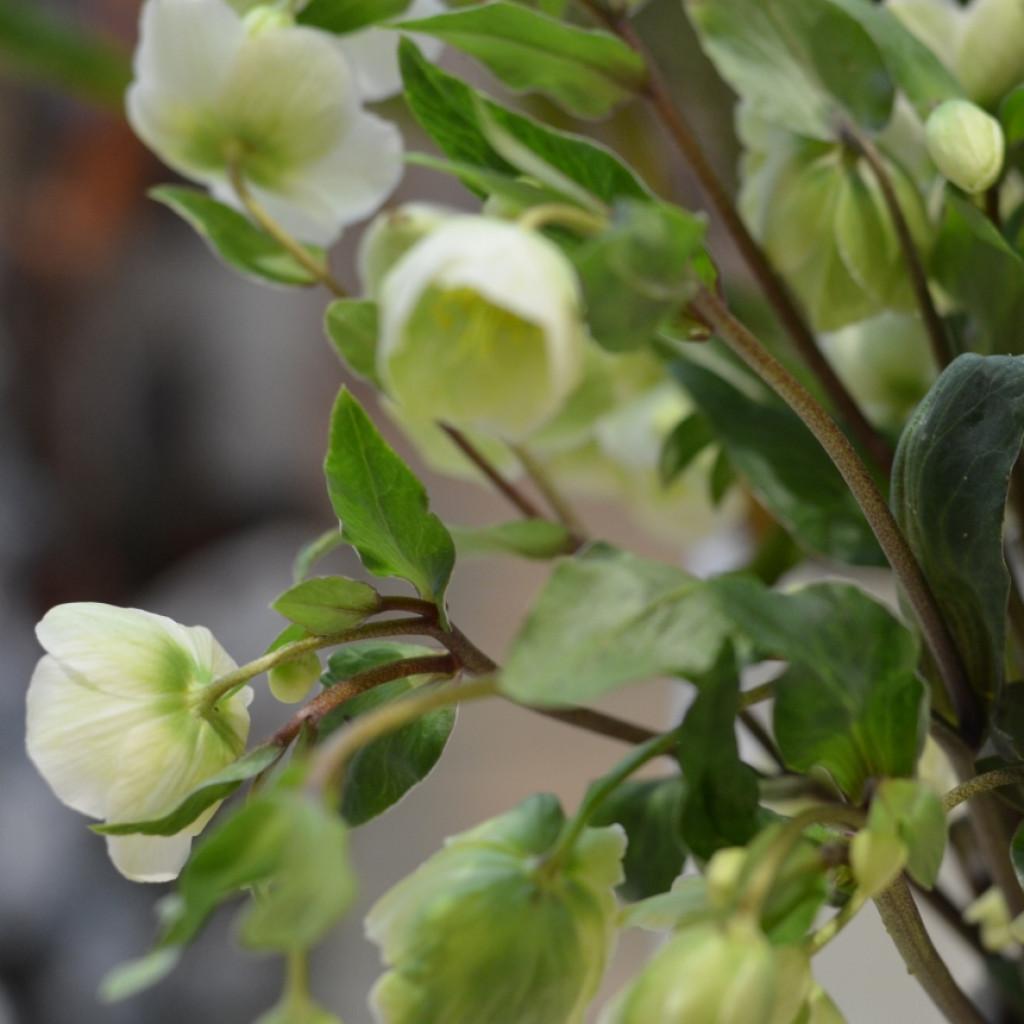 Цветы морозник