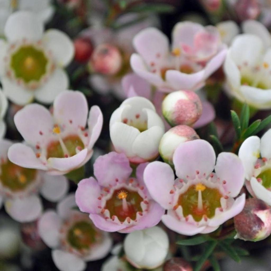 Цветы ваксфлауэр